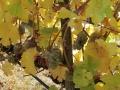 riesling vines